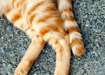 Do Cats Have Knees